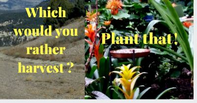 Which would you rather harvest - plant that